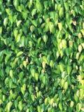 Beschaffenheiten von Ficus lässt Nahaufnahme Lizenzfreie Stockfotografie