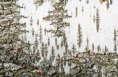 Beschaffenheitshintergrund der Birkenrinde Stockfotos