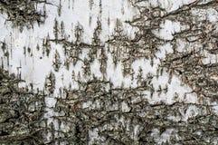 Beschaffenheitshintergrund der Birkenrinde Stockbild
