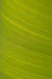 Beschaffenheitshintergrund des hintergrundbeleuchteten frischen grünen Blattes Lizenzfreies Stockbild
