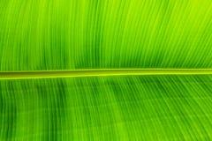 Beschaffenheitshintergrund des von hinten beleuchteten grünen Blattes Stockfotografie
