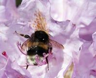 Bescheidene Biene in der Blüte Lizenzfreie Stockbilder