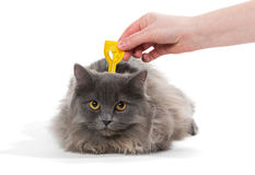 Bescherm de kat tegen tikken en vlooien Stock Afbeelding