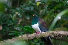 beschermde vogel van de Duif van Nieuw Zeeland Kereru stock foto's