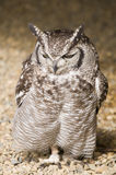 Beschmutzte Adler-Eule Stockbild
