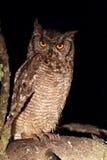 Beschmutzte Adler-Eule (Bubo africanus) Lizenzfreies Stockfoto