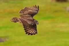 Beschmutzte Adler-Eule im Flug Stockfotos