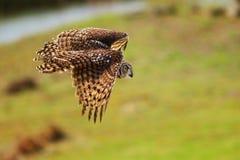 Beschmutzte Adler-Eule im Flug Stockfoto