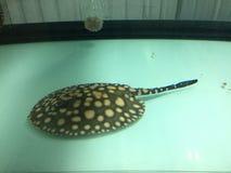 Beschmutzte Adlerrochen (Aetobatus narinari) schwimmend über Korallenriff, gezeichneter Butterflyfish Lizenzfreie Stockfotos
