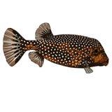 Beschmutzte Boxfish-weibliche Vektor-Illustration Stockbilder