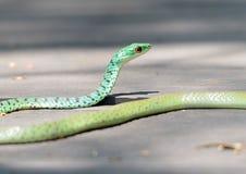 Beschmutzte Bush-Schlange in Kruger-Park stockbild