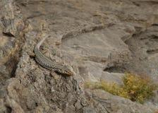 Beschmutzte Eidechse, die auf den Steinen sitzt Stockbild