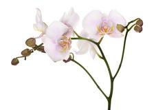 Beschmutzte hellrosa getrennte Orchideen stockfotos