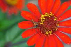 Beschmutzte Heuschrecke auf einer roten Blume lizenzfreie stockfotografie