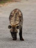 Beschmutzte Hyäne. Stockfotos