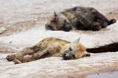 Beschmutzte Hyäne Lizenzfreie Stockfotos