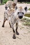Beschmutzte Hyäne Stockbilder
