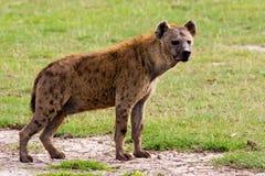 Beschmutzte Hyäne Stockfotografie