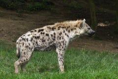 Beschmutzte Hyäne Stockfotos