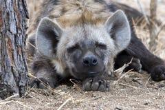 Beschmutzte Hyäne Stockfoto