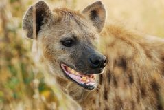 Beschmutzte Hyäne (Crocuta Crocuta) Stockfotografie