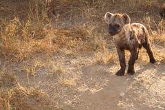 Beschmutzte Hyäne CUB, das etwas aufpasst Stockbild