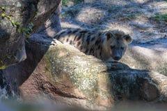 Beschmutzte Hyäne, die in den Zoo geht lizenzfreie stockbilder