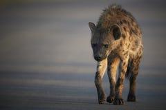 Beschmutzte Hyäne, die eine Straße kreuzt Lizenzfreie Stockfotografie