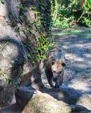 Beschmutzte Hyäne, die am Zoo geht stockfoto