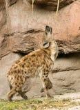 Beschmutzte Hyäne durch Rock Stockbilder