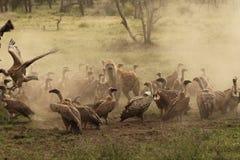 Beschmutzte Hyäne schützt eine Tötung, während umkreist durch Geier in Ndutu Lizenzfreie Stockfotos