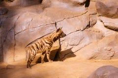 Beschmutzte Hyäne schaut vorwärts Stockbilder