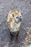 Beschmutzte Hyänen Stockbild