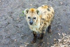 Beschmutzte Hyänen Stockfotos
