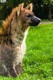 Beschmutzte Hyänen, Crocuta Crocuta Stockfoto