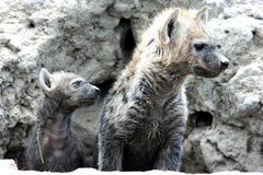 Beschmutzte Hyänen kommen aus Höhle heraus Stockfotografie