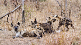 Beschmutzte Hyänen, Mutter und Babys in Nationalpark Kruger Lizenzfreie Stockbilder
