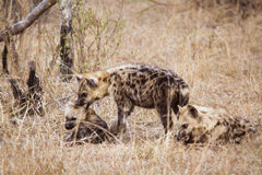 Beschmutzte Hyänen in Nationalpark Kruger Stockfotografie