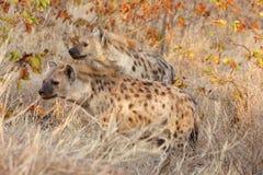 Beschmutzte hyaenas auf Warnung Lizenzfreies Stockfoto