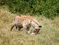 Beschmutzte Hyänen in wildem Stockbild