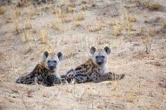 Beschmutzte Hyänenjunge Lizenzfreie Stockfotografie