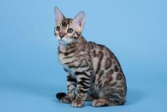 Beschmutzte Katze von Bengal-Zucht stockfoto
