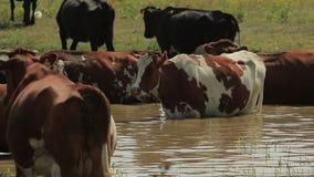 Beschmutzte Kuh im Wasser stock footage