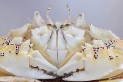 Beschmutzte Mond-Krabbe Stockbilder