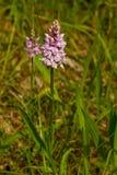 Beschmutzte Orchideenblume Stockbild