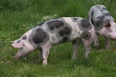Beschmutzte pietrian Zuchtschweine, die an der Farm der Tiere auf Weide weiden lassen Lizenzfreie Stockfotografie