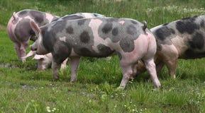 Beschmutzte pietrian Zuchtschweine, die an der Farm der Tiere auf Weide weiden lassen Lizenzfreies Stockfoto