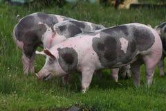 Beschmutzte pietrian Zuchtschweine, die an der Farm der Tiere auf Weide weiden lassen Stockbild