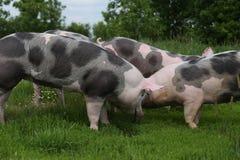 Beschmutzte pietrian Zuchtschweine, die an der Farm der Tiere auf Weide weiden lassen Lizenzfreie Stockbilder
