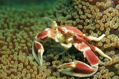 Beschmutzte Porzellan-Krabbe stockfoto